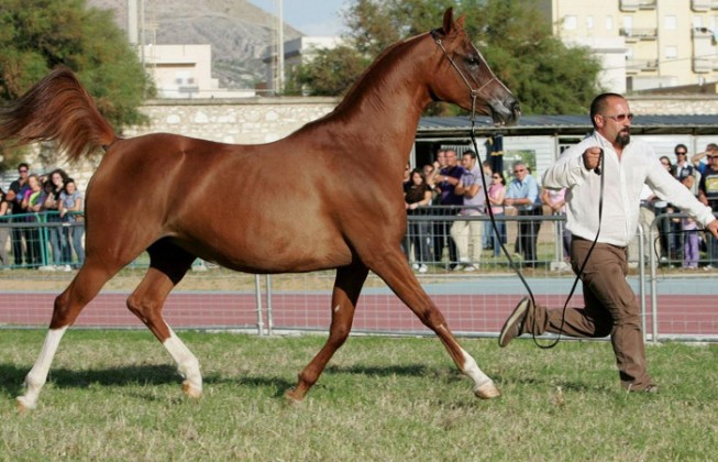 For the first time in San Vito Lo Capo:  Trapani Arabian Horses Cup